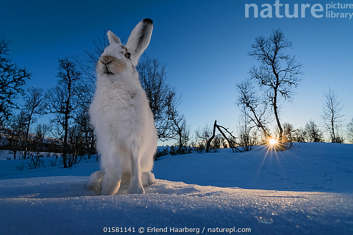 Mountain hares (Lepus timidus) in winter coat, at sunset, Vauldalen, Norway. April. Third place of the Harmony of Life Category of the Golden Turtle Photography Awards 2017., catalogue10,,Animal,Wildlife,Vertebrate,Mammal,Lagomorph,Leporid,Hare,Mountain Hare,Animalia,Animal,Wildlife,Vertebrate,Mammalia,Mammal,Lagomorpha,Lagomorph,Leporidae,Leporid,Lepus,Hare,Lepus timidus,Mountain Hare,Europe,Northern Europe,North Europe,Nordic Countries,Scandinavia,Norway,Low Angle View,Portrait,Snow,Winter,Colour-phases,Winter coat,Competition winner,The Sun,Photography award,, Erlend Haarberg