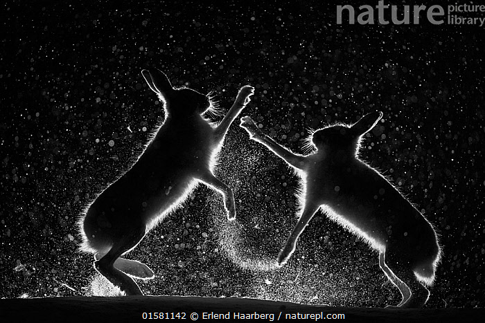 Mountain hares (Lepus timidus) fighting in snow at night, Vauldalen, Norway.  Joint overall winner of the GDT  European Wildlife Photographer of the Year 2017.  Highly commended in the Wildlife Photographer of the Year Awards (WPOY) competition 2017.  Winner of the Mammals category of the MontPhoto International Competition of Nature Photography 2017. Winner of the Animal Behaviour Category of the Golden Turtle Awards 2017.  ,  catalogue10,,Animal,Wildlife,Vertebrate,Mammal,Lagomorph,Leporid,Hare,Mountain Hare,Animalia,Animal,Wildlife,Vertebrate,Mammalia,Mammal,Lagomorpha,Lagomorph,Leporidae,Leporid,Lepus,Hare,Lepus timidus,Mountain Hare,Europe,Northern Europe,North Europe,Nordic Countries,Scandinavia,Norway,Profile,Monochromatic,Side View,Back Lit,Snow,Night,Animal Behaviour,Aggression,Fighting,Behaviour,Competition winner,Photography award,Behavioural,  ,  Erlend Haarberg