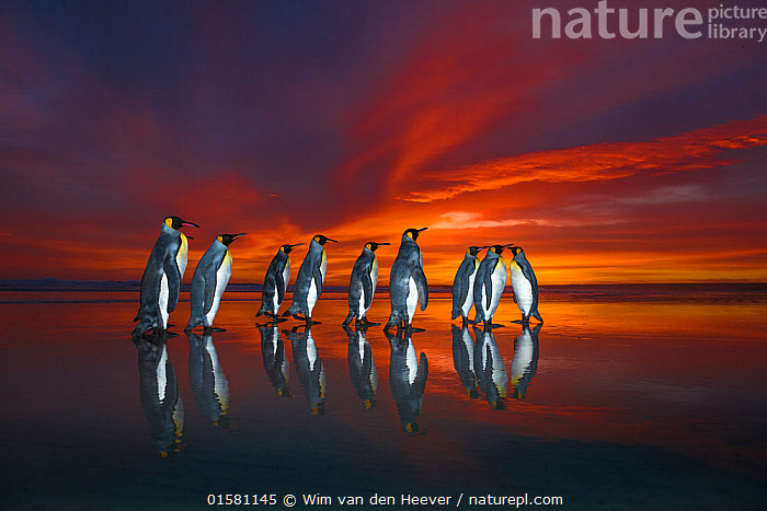King penguins (Aptenodytes patagonicus) at sunrise, Falklands. Highly honoured in the Ocean View Category of the Nature's Best Windland Smith Rice Ocean View Competition 2017  ,  catalogue10,,Animal,Wildlife,Vertebrate,Bird,Birds,Penguin,King penguin,Animalia,Animal,Wildlife,Vertebrate,Aves,Bird,Birds,Sphenisciformes,Penguin,Seabird,Spheniscidae,Aptenodytes,Aptenodytes patagonicus,King penguin,Colour,Red,Group,Sunrise,Coast,Coastal,Atlantic Islands,Competition winner,Dawn,Dusk,Dramatic,Photography award,Flightless  ,  Wim van den Heever