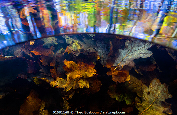 Split level view of autumn leaves underwater and tree reflections on the water surface, Levenumse beek, the Netherlands, November., catalogue10,,,Europe,Western Europe,The Netherlands,Holland,Netherlands,Plant,Leaf,Foliage,Reflection,Flowing Water,Stream,Streams,Autumn,Freshwater,Underwater,Water,Arty shots,Abstract,Abstracts,, Theo  Bosboom