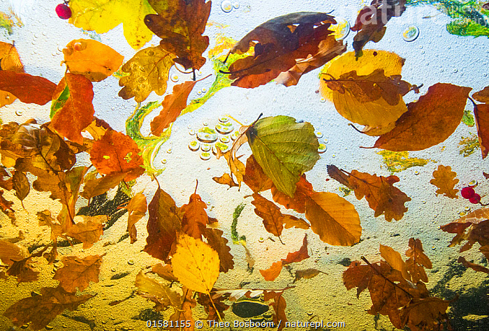 Autumn leaves from Beech, Oak and Birch trees  floating on water, taken from  underwater, Ardennes, La Hoegne, Belgium.  ,  catalogue10,,,Floating,Europe,Western Europe,Belgium,Low Angle View,Plant,Leaf,Foliage,Flowing Water,Stream,Streams,Autumn,Freshwater,Underwater,Water,Arty shots,Abstract,Abstracts,Ardennes,  ,  Theo  Bosboom