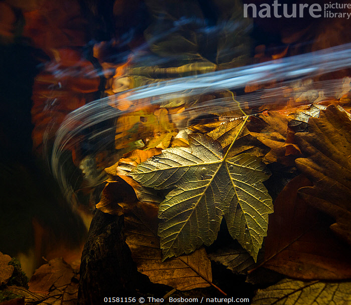 Autumn leaves seen underwater, Ardennes, La Hoegne, Belgium., Europe,Western Europe,Belgium,Plant,Leaf,Foliage,Flowing Water,Stream,Streams,Autumn,Freshwater,Underwater,Water,Arty shots,Abstract,Abstracts,, Theo  Bosboom