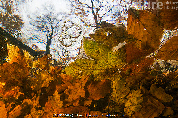 Underwater view of autumn leaves stuck behind a fallen tree, Leuvenumse beek, the Netherlands.  ,  Europe,Western Europe,The Netherlands,Holland,Netherlands,Plant,Leaf,Foliage,Bubble,Flowing Water,Stream,Streams,Autumn,Freshwater,Underwater,Water,Arty shots,Abstract,Abstracts,  ,  Theo  Bosboom