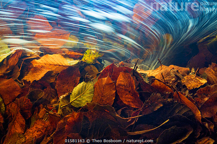 Underwater view of autumn leaves in stream current, La Hoegne, Ardennes, Belgium., catalogue10,,,Motion,Europe,Western Europe,Belgium,Plant,Leaf,Foliage,Flowing Water,Stream,Streams,Autumn,Freshwater,Underwater,Water,Arty shots,Abstract,Abstracts,Moving,Ardennes,Current,Movement,, Theo  Bosboom