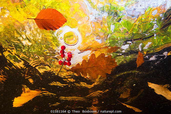 Autumn foliage including Beech and Oak leaves and Rowan berries floating in the current of a mountain stream, La Hoegne, Ardennes, Belgium., Europe,Western Europe,Belgium,Plant,Leaf,Foliage,Flowing Water,Stream,Streams,Autumn,Freshwater,Underwater,Water,Arty shots,Abstract,Abstracts,, Theo  Bosboom