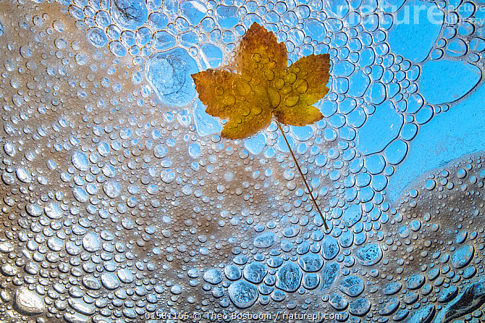 Maple leaf in autumn, viewed from underwater with bubbles and foam of mountain stream, La Hoegne, Ardennes, Belgium., catalogue10,,,Europe,Western Europe,Belgium,Low Angle View,Plant,Leaf,Foliage,Tree,Deciduous,Maple Family,Maple,Maple Tree,Maple Trees,Maples,Bubble,Flowing Water,Stream,Streams,Autumn,Freshwater,Underwater,Water,Arty shots,Abstract,Abstracts,Ardennes,, Theo  Bosboom