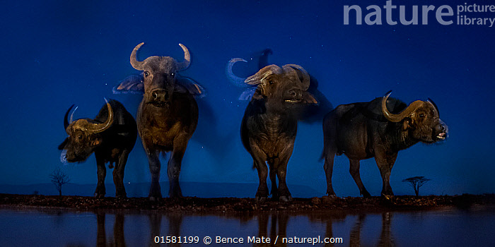 African buffalo (Syncerus caffer) at waterhole at night, Mkuze, South Africa Third place in the Nature Portfolio category of the World Press Photo Awards 2017., catalogue10,,Animal,Wildlife,Vertebrate,Mammal,Bovid,Buffalo,African buffalo,Animalia,Animal,Wildlife,Vertebrate,Mammalia,Mammal,Artiodactyla,Even-toed ungulates,Bovidae,Bovid,ruminantia,Ruminant,Syncerus,Buffalo,Syncerus caffer,African buffalo,Group Of Animals,Herd,Few,Four,Group,Africa,Southern Africa,South Africa,Low Angle View,Photographic Effect,Long Exposure,Lighting Technique,Flash,Water Hole,Water Holes,Night,Freshwater,Water,Arty shots,Competition winner,Horn,South African,Cape buffalo,Photography award,, Bence Mate