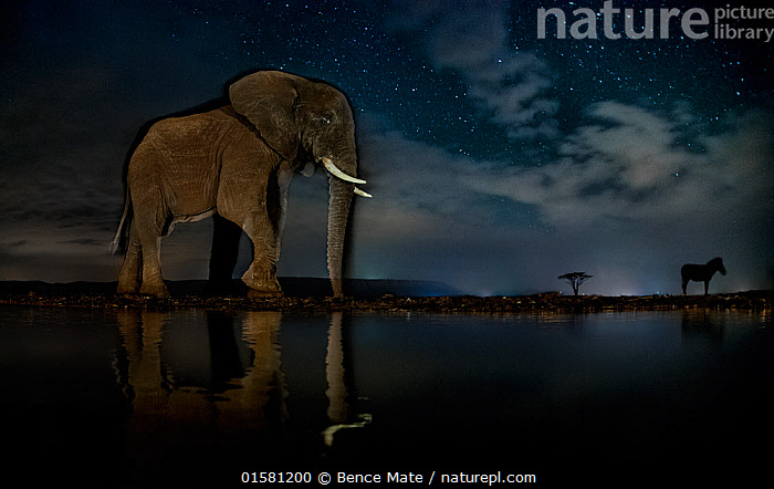 African elephant (Loxodonta africana) and Zebra (Equus quagga) at waterhole at night, Mkuze, South Africa Third place in the Nature Portfolio category of the World Press Photo Awards 2017.  ,  catalogue10,,Animal,Wildlife,Vertebrate,Mammal,Odd toed ungulate,Common Zebra,Elephant,African elephants,African elephant,Animalia,Animal,Wildlife,Vertebrate,Mammalia,Mammal,Perissodactyla,Odd toed ungulate,Equidae,Equus,Equus quagga,Common Zebra,Painted Zebra,Plains Zebra,Equus burchelli,Proboscidea,Elephantidae,Elephant,Loxodonta,African elephants,Loxodonta africana,African elephant,Africa,Southern Africa,South Africa,Low Angle View,Reflection,Sky,Cloud,Water Hole,Water Holes,Night,Freshwater,Water,Arty shots,Competition winner,South African,Photography award,Endangered species,threatened,Endangered  ,  Bence Mate