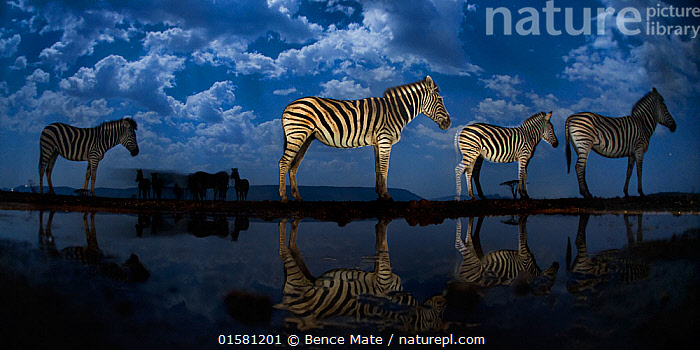 Zebra at waterhole at night, Mkuze, South Africa Third place in the Nature Portfolio category of the World Press Photo Awards 2017.  ,  catalogue10,,Animal,Wildlife,Vertebrate,Mammal,Odd toed ungulate,Common Zebra,Animalia,Animal,Wildlife,Vertebrate,Mammalia,Mammal,Perissodactyla,Odd toed ungulate,Equidae,Equus,Equus quagga,Common Zebra,Painted Zebra,Plains Zebra,Equus burchelli,Group Of Animals,Herd,Group,Africa,Southern Africa,South Africa,Reflection,Sky,Cloud,Night,Competition winner,South African,Photography award,  ,  Bence Mate