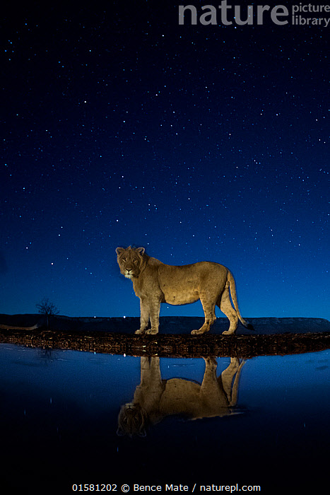 African lion (Panthera leo) at waterhole at night, Mkuze, South Africa Third place in the Nature Portfolio category of the World Press Photo Awards 2017.  ,  catalogue10,,Animal,Wildlife,Vertebrate,Mammal,Carnivore,Cat,Big cat,Lion,Animalia,Animal,Wildlife,Vertebrate,Mammalia,Mammal,Carnivora,Carnivore,Felidae,Cat,Panthera,Big cat,Panthera leo,Africa,Southern Africa,South Africa,Copy Space,Reflection,Stars,Water Hole,Water Holes,Night,Freshwater,Water,Lion,Competition winner,Negative space,South African,Photography award,  ,  Bence Mate