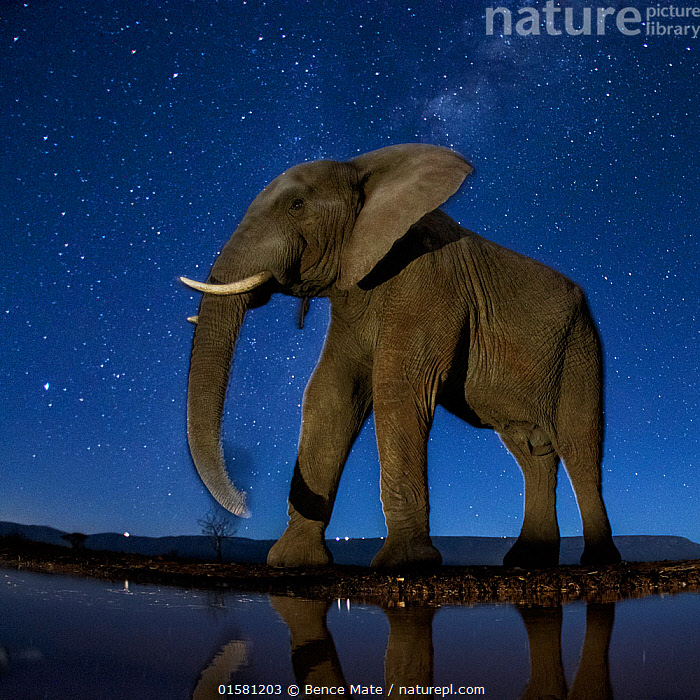 African elephant (Loxodonta africana) at waterhole at night, Mkuze, South Africa Third place in the Nature Portfolio category of the World Press Photo Awards 2017., catalogue10,,Animal,Wildlife,Vertebrate,Mammal,Elephant,African elephants,African elephant,Animalia,Animal,Wildlife,Vertebrate,Mammalia,Mammal,Proboscidea,Elephantidae,Elephant,Loxodonta,African elephants,Loxodonta africana,African elephant,Africa,Southern Africa,South Africa,Low Angle View,Stars,Water Hole,Water Holes,Night,Freshwater,Water,Competition winner,South African,Impressive,Photography award,Endangered species,threatened,Endangered, Bence Mate
