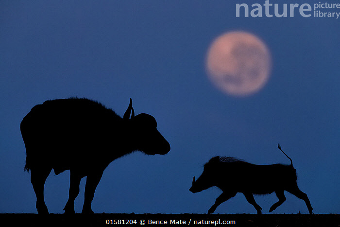 African buffalo (Syncerus caffer) and Warthog (Phacochoerus africanus) at night with full moon, Mkuze, South Africa Third place in the Nature Portfolio category of the World Press Photo Awards 2017.  ,  catalogue10,,Animal,Wildlife,Vertebrate,Mammal,Pig,Wart hog,Bovid,Buffalo,African buffalo,Common Warthog,Animalia,Animal,Wildlife,Vertebrate,Mammalia,Mammal,Artiodactyla,Even-toed ungulates,Suidae,Pig,Phacochoerus,Wart hog,Bovidae,Bovid,ruminantia,Ruminant,Syncerus,Buffalo,Syncerus caffer,African buffalo,Africa,Southern Africa,South Africa,Profile,Side View,Back Lit,Moon,Night,Silhouette,Mixed species,Warthog,Warthogs,Competition winner,Common Warthog,Eritrean Warthog,South African,Cape buffalo,Photography award,  ,  Bence Mate
