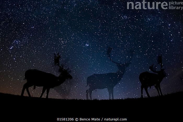 Fallow deer (Dama dama) at night, Gyulaj, Hungary  Third place in the Nature Portfolio category of the World Press Photo Awards 2017.  ,  catalogue10,,Animal,Wildlife,Vertebrate,Mammal,Deer,Fallow deer,Animalia,Animal,Wildlife,Vertebrate,Mammalia,Mammal,Artiodactyla,Even-toed ungulates,Cervidae,Deer,True deer,ruminantia,Ruminant,Dama,Fallow deer,Dama dama,Mystery,Group Of Animals,Herd,Group,Low Angle View,Photographic Effect,Long Exposure,Back Lit,Male Animal,Stag,Stags,Stars,Night,Silhouette,Competition winner,Mythical,Photography award,  ,  Bence Mate