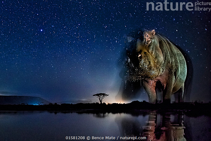 Hippopotamus (Hippopotamus amphibius) at waterhole at night, Mkuze, South Africa Third place in the Nature Portfolio category of the World Press Photo Awards 2017.  ,  catalogue10,,Animal,Wildlife,Vertebrate,Mammal,Hippopotomus,Hippotomuses,Animalia,Animal,Wildlife,Vertebrate,Mammalia,Mammal,Artiodactyla,Even-toed ungulates,Hippotamidae,Hippopotomus,Hippo,Hippopotamus,Hippotomuses,Hippotomi,Hippos,Hippopotamus amphibius,Africa,Southern Africa,South Africa,Low Angle View,Photographic Effect,Long Exposure,Lighting Technique,Flash,Stars,Water Hole,Water Holes,Night,Freshwater,Water,Arty shots,Competition winner,South African,Photography award,  ,  Bence Mate