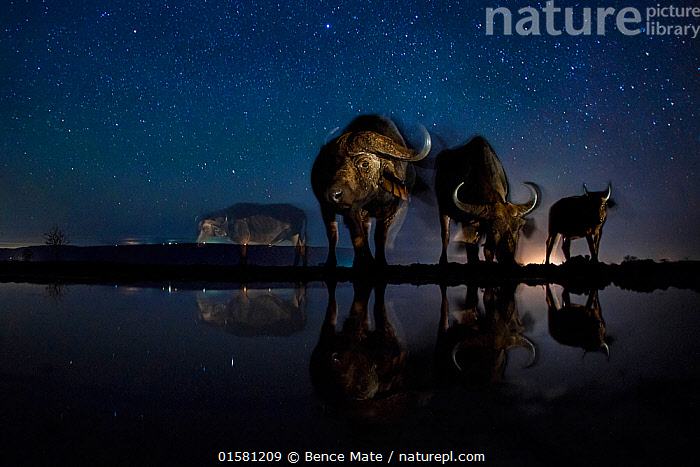 African buffalo (Syncerus caffer)  at waterhole at night, Mkuze, South Africa Third place in the Nature Portfolio category of the World Press Photo Awards 2017.  ,  catalogue10,,Animal,Wildlife,Vertebrate,Mammal,Bovid,Buffalo,African buffalo,Animalia,Animal,Wildlife,Vertebrate,Mammalia,Mammal,Artiodactyla,Even-toed ungulates,Bovidae,Bovid,ruminantia,Ruminant,Syncerus,Buffalo,Syncerus caffer,African buffalo,Group Of Animals,Herd,Group,Africa,Southern Africa,South Africa,Low Angle View,Photographic Effect,Long Exposure,Lighting Technique,Flash,Stars,Water Hole,Water Holes,Night,Freshwater,Water,Arty shots,Competition winner,South African,Photography award,  ,  Bence Mate