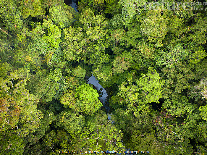 Batang Toru forests, North Sumatra, Indonesia.  This forest is home to a newly identified species of orangutan, the Tapanuli Orangutan (Pongo tapanuliensis) with a population of about 800 individuals.  ,  Animal,Wildlife,Vertebrate,Mammal,Ape,Great ape,Orangutan,Tapanuli orangutan,Animalia,Animal,Wildlife,Vertebrate,Mammalia,Mammal,Primate,Primates,Hominidae,Ape,Great ape,Hominoidea,Pongo,Orangutan,Orang utan,Ponginae,Asia,South East Asia,Indonesia,Aerial View,High Angle View,Rainforest,Tropical rainforest,Forest,Biodiversity hotspot,Sumatra,Elevated view,Recently discovered species,New to science,Pongo tapanuliensis,Tapanuli orangutan,  ,  Andrew Walmsley