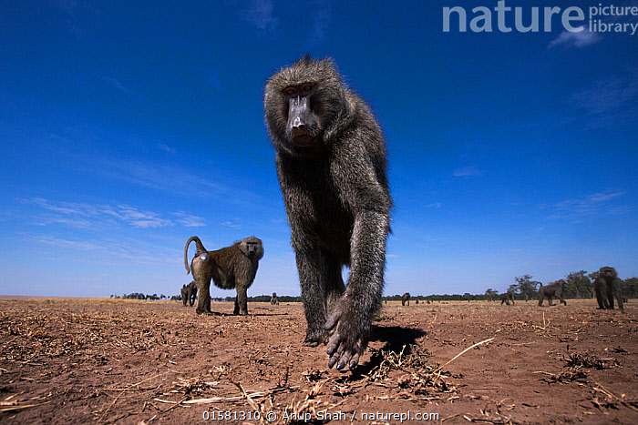 Olive baboon (Papio anubis) male approaching remote camera with curiosity  - taken with a remote camera controlled by the photographer. Maasai Mara National Reserve, Kenya. August.  ,  Animal,Wildlife,Vertebrate,Mammal,Monkey,Baboon,Olive Baboon,Animalia,Animal,Wildlife,Vertebrate,Mammalia,Mammal,Primate,Primates,Cercopithecidae,Monkey,Old World Monkeys,Papio,Baboon,Papionini,Papio anubis,Olive Baboon,Anubis Baboon,Papio choras,Papio doguera,Papio furax,Curiosity,Africa,East Africa,Kenya,Low Angle View,  ,  Anup Shah