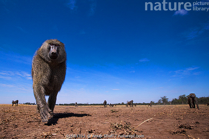 Olive baboon (Papio anubis) male approaching remote camera with curiosity, taken with a remote camera controlled by the photographer. Maasai Mara National Reserve, Kenya. August.  ,  Animal,Wildlife,Vertebrate,Mammal,Monkey,Baboon,Olive Baboon,Animalia,Animal,Wildlife,Vertebrate,Mammalia,Mammal,Primate,Primates,Cercopithecidae,Monkey,Old World Monkeys,Papio,Baboon,Papionini,Papio anubis,Olive Baboon,Anubis Baboon,Papio choras,Papio doguera,Papio furax,Curiosity,Africa,East Africa,Kenya,Low Angle View,  ,  Anup Shah
