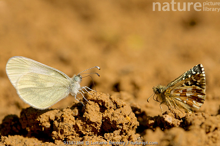 Oberthur's grizzled skipper (Pygrus armoricanus) and Wood white butterfly (Leptidea sinapis) puddling, Grands Causses Regional Natural Park, France, May.  ,  Animal,Wildlife,Arthropod,Insect,Butterfly,Wood white,Animalia,Animal,Wildlife,Hexapoda,Arthropod,Invertebrate,Hexapod,Arthropoda,Insecta,Insect,Lepidoptera,Lepidopterans,Pieridae,Butterfly,Papilionoidea,Leptidea,Leptidea sinapis,Wood white,Papilio sinapsis,Europe,Western Europe,France,Profile,Side View,Animal Behaviour,Mixed species,Puddling,  ,  Lorraine Bennery