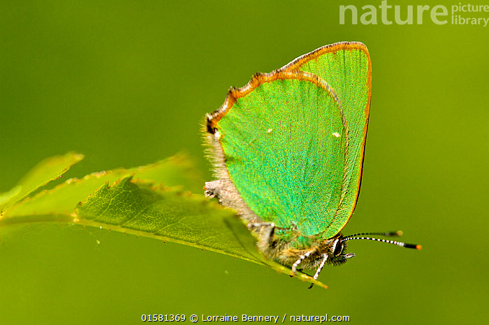 Green hairstreak butterfly (Callophrys rubi), Grands Causses Regional Natural Park, France, May.  ,  Animal,Wildlife,Arthropod,Insect,Gossamer winged butterfly,Green hairstreak,Animalia,Animal,Wildlife,Hexapoda,Arthropod,Invertebrate,Hexapod,Arthropoda,Insecta,Insect,Lepidoptera,Lepidopterans,Lycaenidae,Gossamer winged butterfly,Lycaenid,Butterfly,Papilionoidea,Callophrys,Callophrys rubi,Green hairstreak,Paplio rubi,Europe,Western Europe,France,Profile,Side View,  ,  Lorraine Bennery
