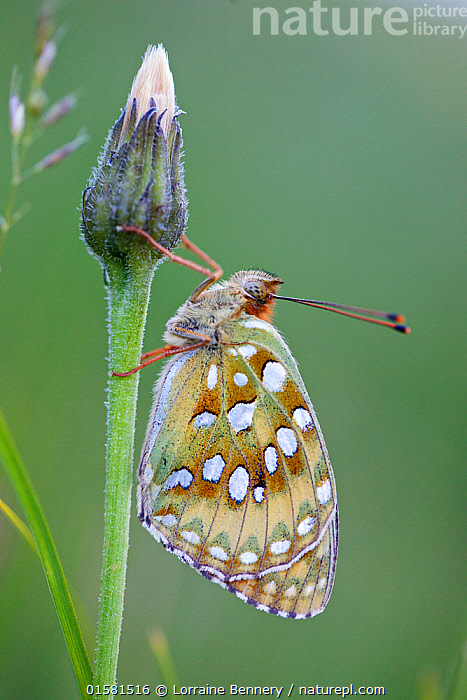 Niobe fritillary (Argynnis niobe), Mercantour National Park, France, July.  ,  Animal,Wildlife,Arthropod,Insect,Brushfooted butterfly,Mountain fritillary,Niobe fritillary,Animalia,Animal,Wildlife,Hexapoda,Arthropod,Invertebrate,Hexapod,Arthropoda,Insecta,Insect,Lepidoptera,Lepidopterans,Nymphalidae,Brushfooted butterfly,Fourfooted butterfly,Nymphalid,Butterfly,Papilionoidea,Issoria,Mountain fritillary,Longwing,Heliconian,Heliconninae,Argynnis niobe,Niobe fritillary,Papilio niobe,Argynnis eris,Fabriciana niobe,Europe,Western Europe,France,Reserve,Protected area,National Park,  ,  Lorraine Bennery