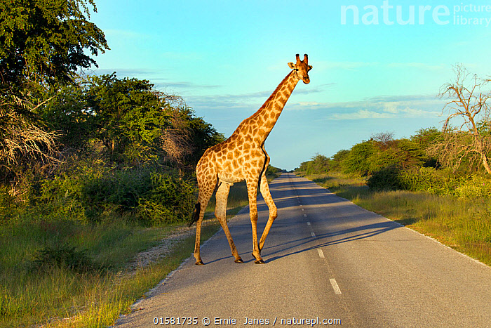 Angolan giraffe (Giraffa giraffa angolensis) on road, northern Namibia., Africa,Southern Africa,Namibia,South-West Africa,Profile,Side View,Namibian,, Ernie  Janes