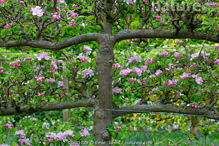 Nature Picture Library Apple Trees Malus Domestica Fan Trained