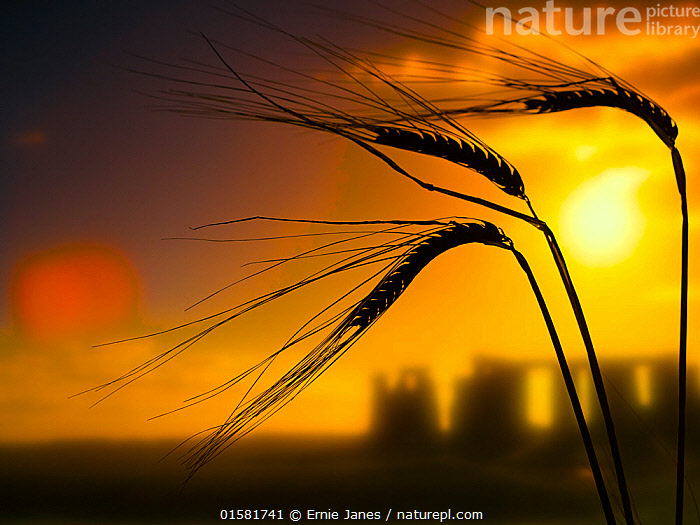 Ripe Barley  (Hordeum vulgare) ears in field ready for harvest and the rising sun, Stone Henge, Salisbury, England, UK, August., catalogue10,,Plant,Vascular plant,Flowering plant,Monocot,Grass,Barley,Plantae,Plant,Tracheophyta,Vascular plant,Magnoliopsida,Flowering plant,Angiosperm,Seed plant,Spermatophyte,Spermatophytina,Angiospermae,Poales,Monocot,Monocotyledon,Lilianae,Poaceae,Grass,True grass,Gramineae,Hordeum,Barley,Hordeum vulgare,Cereal barley,Common barley,Two rowed barley,Europe,Western Europe,UK,Great Britain,England,Wiltshire,Salisbury,Back Lit,Crops,Produce,Cultivated,Monument,Monuments,Megalithic Monument,Megalithic Monuments,Stone Circle,Stone Circles,Sunrise,Silhouette,Dawn,, Ernie  Janes