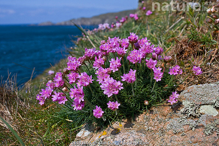Thrift (Armeria maritima), Sark, British Channel Islands, May.  ,  Plant,Vascular plant,Flowering plant,Dicot,Leadwort,Thrift seapink,Plantae,Plant,Tracheophyta,Vascular plant,Magnoliopsida,Flowering plant,Angiosperm,Seed plant,Spermatophyte,Spermatophytina,Angiospermae,Caryophyllales,Dicot,Dicotyledon,Caryophyllanae,Centrospermae,Plumbaginaceae,Leadwort,Armeria,Armeria maritima,Thrift seapink,Sea thrift,Thrift sea pink,Statice maritima,Armeria vulgaris,Colour,Pink,Europe,Western Europe,UK,Channel Islands,Flower,Ocean,Atlantic Ocean,Marine,Water,Temperate,Saltwater,Sark,  ,  Sue Daly