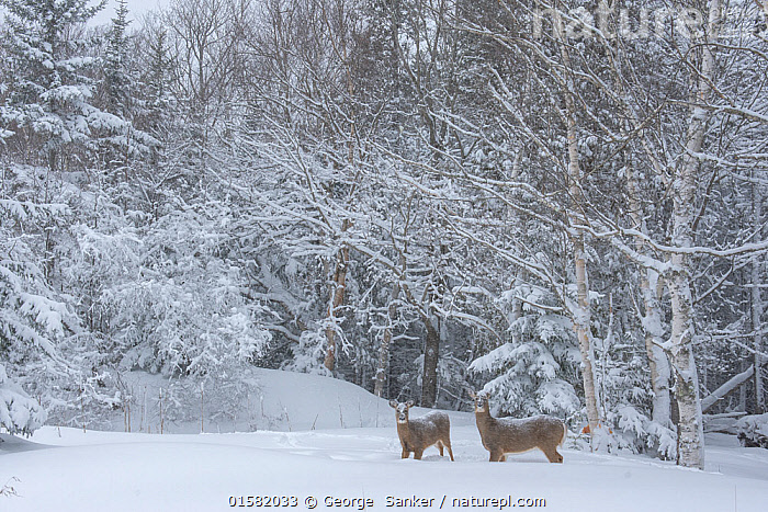 White-tailed Deer (Odocoileus virginianus) mother and fawn at the edge of a snow-covered pond. Acadia National Park, Maine, USA., Animal,Wildlife,Vertebrate,Mammal,Deer,Key Deer,American,Animalia,Animal,Wildlife,Vertebrate,Mammalia,Mammal,Artiodactyla,Even-toed ungulates,Cervidae,Deer,True deer,ruminantia,Ruminant,Odocoileus,Odocoileus virginianus,Key Deer,White-tailed Deer,North America,USA,Eastern USA,New England,Maine,Young Animal,Baby,Baby Mammal,Fawn,Snow,Winter,Reserve,Family,Mother baby,Mother,Protected area,National Park,Parent baby,American,United States of America,, George  Sanker