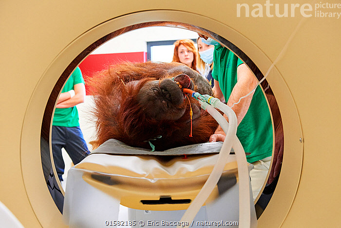 Female Orangutan (Pongo pygmaeus) under anaesthetic and undergoing an MRI scanner in the surgery station of the zoo, Zooparc Beauval, France, October 2017.  ,  catalogue10,,Animal,Wildlife,Vertebrate,Mammal,Ape,Great ape,Orangutan,Bornean Orangutan,Animalia,Animal,Wildlife,Vertebrate,Mammalia,Mammal,Primate,Primates,Hominidae,Ape,Great ape,Hominoidea,Pongo,Orangutan,Orang utan,Ponginae,Pongo pygmaeus,Bornean Orangutan,People,Man,Veterinary Surgeon,Disease,Ill,Illnesses,Poorly,Sick,Sickness,Zoo,Zoos,Healthcare And Medicine,Healthcare,Medical,Treatment,Treatments,Captivity,Procedure,Anaesthesia,Endangered species,threatened,Endangered  ,  Eric Baccega