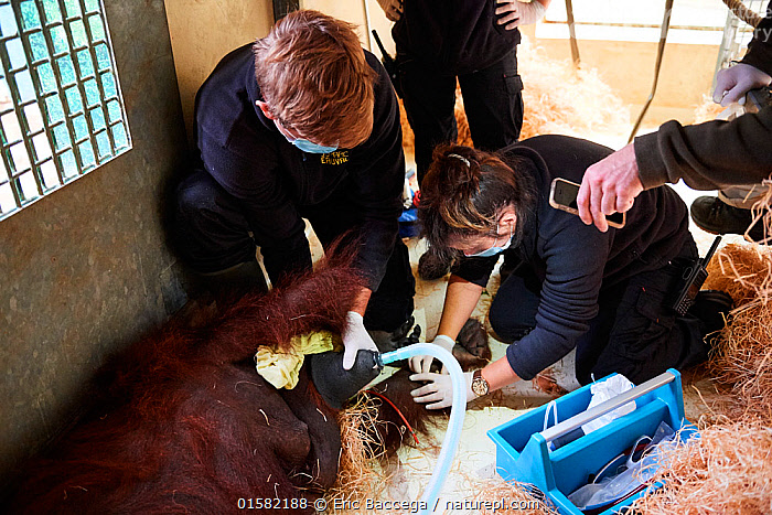 Veterinarian administratiing a sedative injection to a female Orangutan (Pongo pygmaeus) for a check with an MRI scanner, Zooparc Beauval, France, October 2017.  ,  Animal,Wildlife,Vertebrate,Mammal,Ape,Great ape,Orangutan,Bornean Orangutan,Animalia,Animal,Wildlife,Vertebrate,Mammalia,Mammal,Primate,Primates,Hominidae,Ape,Great ape,Hominoidea,Pongo,Orangutan,Orang utan,Ponginae,Pongo pygmaeus,Bornean Orangutan,People,Veterinary Surgeon,Disease,Ill,Illnesses,Poorly,Sick,Sickness,Zoo,Healthcare And Medicine,Healthcare,Medical,Treatment,Treatments,Captivity,Procedure,Anaesthesia,Endangered species,threatened,Endangered  ,  Eric Baccega