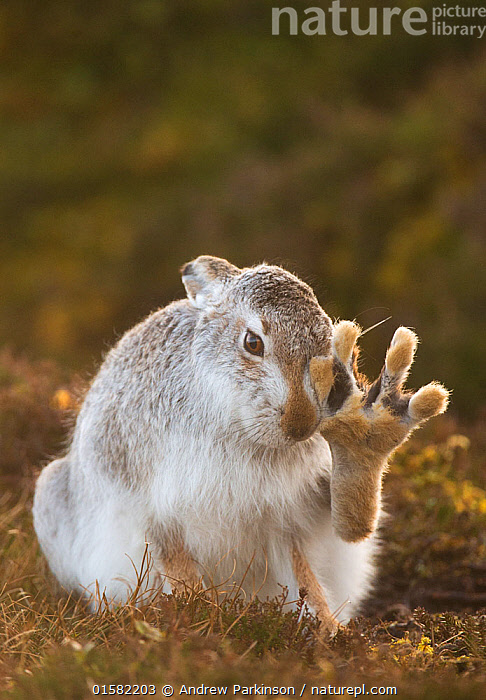 Mountain hare (Lepus timidus) grooming itself, with back foot raised, Cairngorms National Park, Scotland, UK, February.  Highly Commended in the Animal Behaviour category of the British Wildlife Photography Awards (BWPA)Competition   2017., catalogue10,,Animal,Wildlife,Vertebrate,Mammal,Lagomorph,Leporid,Hare,Mountain Hare,Animalia,Animal,Wildlife,Vertebrate,Mammalia,Mammal,Lagomorpha,Lagomorph,Leporidae,Leporid,Lepus,Hare,Lepus timidus,Mountain Hare,Grooming,Europe,Western Europe,UK,Great Britain,Scotland,Highland,Copy Space,Portrait,Animal Feet,Feet,Foot,Animal Behaviour,Reserve,Behaviour,Protected area,Highlands of Scotland,National Park,Cairngorms,Negative space,Behavioural,, Andrew Parkinson