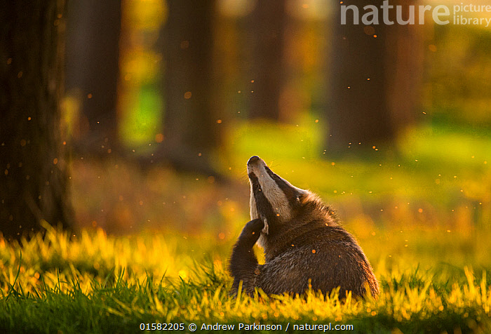 Badger (Meles meles) adult, backlit at sunset, scratching its ears, Derbyshire, UK, May. Winner of the Animal Behaviour category of the British Wildlife Photography Awards (BWPA) Competition 2017., catalogue10,,Animal,Wildlife,Vertebrate,Mammal,Carnivore,Mustelid,Badger,Animalia,Animal,Wildlife,Vertebrate,Mammalia,Mammal,Carnivora,Carnivore,Mustelidae,Mustelid,Meles,Badger,Meles meles,Eurasian Badger,Scratching,Europe,Western Europe,UK,Great Britain,England,Derbyshire,Sunset,Setting Sun,Sunsets,Animal Behaviour,Forest,Behaviour,Dusk,Behavioural,, Andrew Parkinson