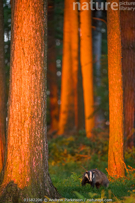 Badger (Meles meles) adult in pine forest at sunset, Derbyshire, UK, June. Highly commended in the Habitat category of the British Wildlife Photography Awards (BWPA) Competition  2017.  ,  catalogue10,,Animal,Wildlife,Vertebrate,Mammal,Carnivore,Mustelid,Badger,Animalia,Animal,Wildlife,Vertebrate,Mammalia,Mammal,Carnivora,Carnivore,Mustelidae,Mustelid,Meles,Badger,Meles meles,Eurasian Badger,Europe,Western Europe,UK,Great Britain,England,Derbyshire,Sunset,Setting Sun,Sunsets,Summer,Forest,Dusk,  ,  Andrew Parkinson