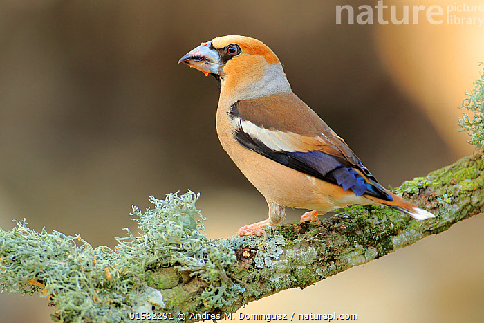 Hawfinch (Coccothraustes coccothraustes),   Andalusia, Spain, June.  ,  Animal,Wildlife,Vertebrate,Bird,Birds,Songbird,True finch,Holarctic grosbeak,Hawfinch,Animalia,Animal,Wildlife,Vertebrate,Aves,Bird,Birds,Passeriformes,Songbird,Passerine,Fringillidae,True finch,Finch,Coccothraustes,Holarctic grosbeak,Cardueline finch,Carduelinae,Coccothraustes coccothraustes,Hawfinch,Loxia coccothraustes,Europe,Southern Europe,Spain,Andalusia,Profile,Side View,  ,  Andres M. Dominguez