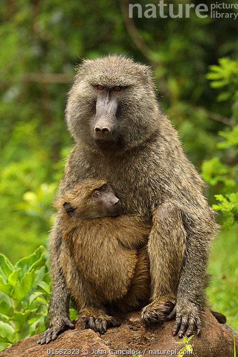 Olive baboons (Papio anubis) mother and young, Kenya  ,  Animal,Wildlife,Vertebrate,Mammal,Monkey,Baboon,Olive Baboon,Animalia,Animal,Wildlife,Vertebrate,Mammalia,Mammal,Primate,Primates,Cercopithecidae,Monkey,Old World Monkeys,Papio,Baboon,Papionini,Papio anubis,Olive Baboon,Anubis Baboon,Papio choras,Papio doguera,Papio furax,Africa,East Africa,Kenya,Family,Mother baby,Mother,Parent baby,  ,  John Cancalosi