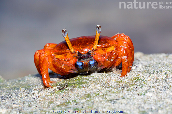 Fiddler crab (Uca sp) on the island of Yap, Micronesia.  ,  Animal,Wildlife,Crustacean,Decapod,Crab,Fiddler crab,Animalia,Animal,Wildlife,Crustracea,Crustacean,Malacostraca,Decapoda,Decapod,Ocypodidae,Crab,Uca,Fiddler crab,Oceania,Micronesia,Federated States of Micronesia,Micronesia,Arthropod,Arthropods,Biodiversity hotspots,Biodiversity hotspot,Invertebrate,Marine  ,  David  Fleetham
