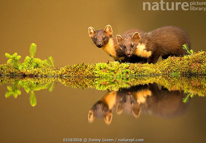 Pine marten (Martes martes) reflected in water, Ardnamurchan Peninsula, west coast of Scotland, UK. Highly commended in the Mammals category of the British Wildlife Photography Awards (BWPA) Competition 2017  ,  catalogue10,,Animal,Wildlife,Vertebrate,Mammal,Carnivore,Mustelid,Marten,European Pine Martin,Animalia,Animal,Wildlife,Vertebrate,Mammalia,Mammal,Carnivora,Carnivore,Mustelidae,Mustelid,Martes,Marten,Martes martes,European Pine Martin,Pine Marten,Two,Europe,Western Europe,UK,Great Britain,Scotland,Reflection,Freshwater,Pond,Water,Competition winner,Lochaber,Ardnamurchan,Photography award,  ,  Danny Green