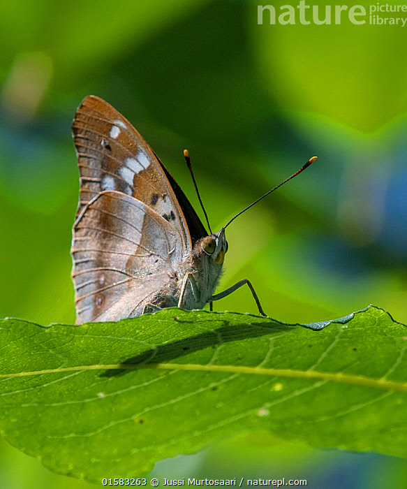 Lesser purple emperor butterfly (Apatura ilia), sitting on a leaf, Finland, August., catalogue10,,Animal,Wildlife,Arthropod,Insect,Brushfooted butterfly,Emperor,Lesser purple emperor,Animalia,Animal,Wildlife,Hexapoda,Arthropod,Invertebrate,Hexapod,Arthropoda,Insecta,Insect,Lepidoptera,Lepidopterans,Nymphalidae,Brushfooted butterfly,Fourfooted butterfly,Nymphalid,Butterfly,Papilionoidea,Apatura,Emperor,Emperor butterfly,Apaturinae,Apatura ilia,Lesser purple emperor,Papilio ilia,Apatura barcina,Europe,Northern Europe,North Europe,Nordic Countries,Finland,Close Up,Portrait,Plant,Leaf,Foliage,Antennae,Summer,Sensory organ,Bipectinate Antenna,Antenna,, Jussi  Murtosaari