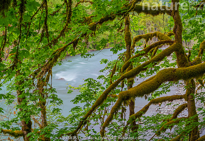 Nature Picture Library Moss Covered Branches Of Big Leaf Maple