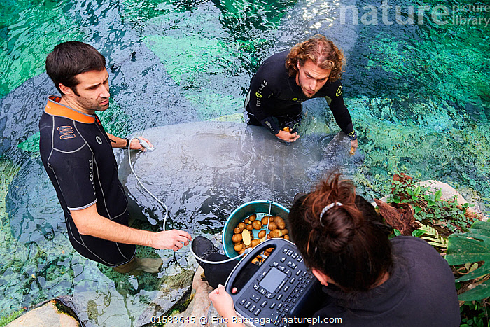 Veterinarian and two keepers performing an ultrasound scan on a pregnant Florida manatee female (Trichechus manatus latirostrus), Beauval Zoo, France, October 2017.  ,  Animal,Wildlife,Vertebrate,Mammal,Sea cow,Manatee,Manatees,American Manatee,Animalia,Animal,Wildlife,Vertebrate,Mammalia,Mammal,Sirenia,Sea cow,Trichechidae,Manatee,Trichechus,Manatees,Trichechus manatus,American Manatee,West Indian Manatee,Trichechus americanus,Trichechus antillarum,Trichechus clusii,People,Veterinary Surgeon,Female animal,Captivity,Pregnant,Endangered species,threatened,Vulnerable  ,  Eric Baccega