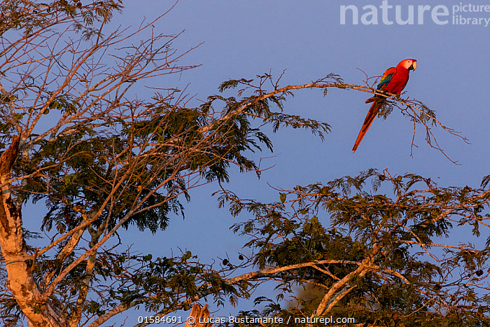 Scarlet Macaw (Ara macao) perched on a branch at sunset. Tambopata National Reserve, Madre de Dios, Peru.  ,  Animal,Wildlife,Vertebrate,Bird,Birds,Parrot,True parrot,Macaw,Scarlet macaw,Animalia,Animal,Wildlife,Vertebrate,Aves,Bird,Birds,Psittaciformes,Parrot,Psittacines,Psittacidae,True parrot,Psittacoidea,Ara,Macaw,Neotropical parrots,Arini,Arinae,Ara macao,Scarlet macaw,Latin America,South America,Peru,Plant,Tree,Forest,  ,  Lucas Bustamante