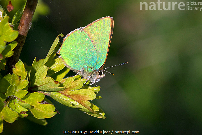 Green hairstreak butterfly (Callophrys rubi) on hawthorn leaf, Wiltshire, England, UK, April.  ,  Animal,Wildlife,Arthropod,Insect,Gossamer winged butterfly,Green hairstreak,Animalia,Animal,Wildlife,Hexapoda,Arthropod,Invertebrate,Hexapod,Arthropoda,Insecta,Insect,Lepidoptera,Lepidopterans,Lycaenidae,Gossamer winged butterfly,Lycaenid,Butterfly,Papilionoidea,Callophrys,Callophrys rubi,Green hairstreak,Paplio rubi,Colour,Green,Yellow,Europe,Western Europe,UK,Great Britain,England,Wiltshire,Profile,Side View,Plant,  ,  David Kjaer