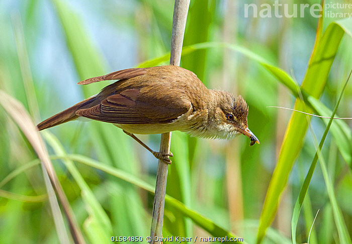 Nature Picture Library Reed Warbler Acrocephalus Scirpaceus Greylake Rspb Reserve Somerset Levels England Uk June David Kjaer