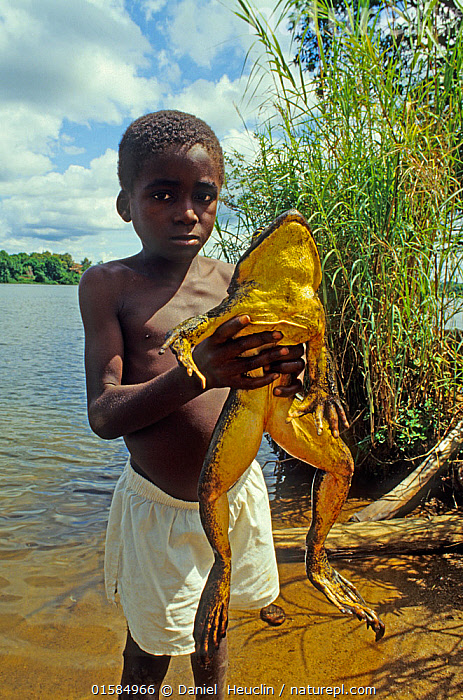 Young boy holding Goliath frog (Conraua goliath)  Sanaga, Cameroon. Hunted for bushmeat / food  ,  Animal,Wildlife,Vertebrate,Frog,Goliath frog,Animalia,Animal,Wildlife,Vertebrate,Amphibia,Anura,Frog,Ranidae,Conraua,Conraua goliath,Goliath frog,People,Size,Giant,Huge,Massive,Large,Africa,West Africa,Cameroon,Hunting,Bushmeat,Conservation issues,West African,Amphibian,Endangered species,threatened,Endangered  ,  Daniel  Heuclin