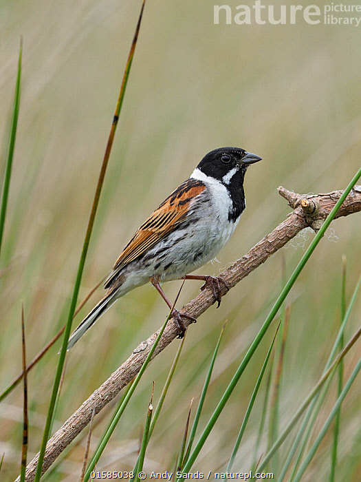 Nature Picture Library Reed Bunting Emberiza Schoeniclus Male Perched On Dead Twig Upper Teesdale County Durham England Uk June Andy Sands