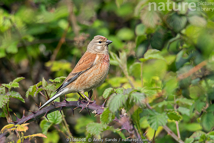 Common linnet (Linaria cannabina) perched among Brambles, Bedfordshire, England, UK, May  ,  Europe,Western Europe,UK,Great Britain,England,Bedfordshire,  ,  Andy Sands