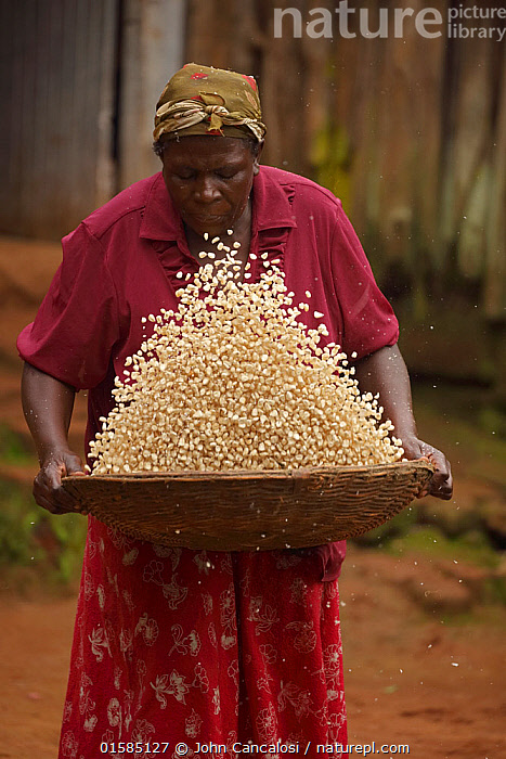 Luhya woman winnowing corn, Kakamega forest, Kenya, July.  ,  Africa,Angiosperm,Angiospermae,Corn,Crops,Cultivated,Developing countries,Development,East Africa,Flowering plant,Food,Grain,Grains,Gramineae,Grass,Hardship,Indian corn plant,Kenya,Lilianae,Magnoliopsida,Maize,Mayzea vestita,Monocot,Monocotyledon,People,Plant,plant plant,Plantae,Poaceae,Poales,Poor,Poverty,Produce,Spermatophyte,Spermatophytina,Sweet corn plant,Sweetcorn,Tracheophyta,True grass,Vascular plant,Winnowing,Woman,Zea,Zea alba,Zea americana,Zea mays  ,  John Cancalosi
