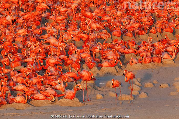 Aerial view of Caribbean Flamingo (Phoenicopterus ruber) breeding colony, Ria Lagartos Biosphere Reserve, Yucatan Peninsula, Mexico, May, Finalist in the Portfolio Category of the Terre Sauvage Nature Images Awards 2017., catalogue10,,Animal,Wildlife,Vertebrate,Bird,Birds,Flamingo,American flamingo,Animalia,Animal,Wildlife,Vertebrate,Aves,Bird,Birds,Phoenicopteriformes,Flamingo,Phoenicopteridae,Phoenicopterus,Phoenicopterus ruber,American flamingo,Caribbean flamingo,West Indian flamingo,Cuban flamingo,Phoenicopterus ruber ruber,Colour,Red,Group Of Animals,Animal Colony,Flock,Group,Large Group,Latin America,Central America,Mexico,Aerial View,High Angle View,Competition winner,Multitude,Elevated view,Yucatan Peninsula,Yucatan,Photography award,, Claudio  Contreras